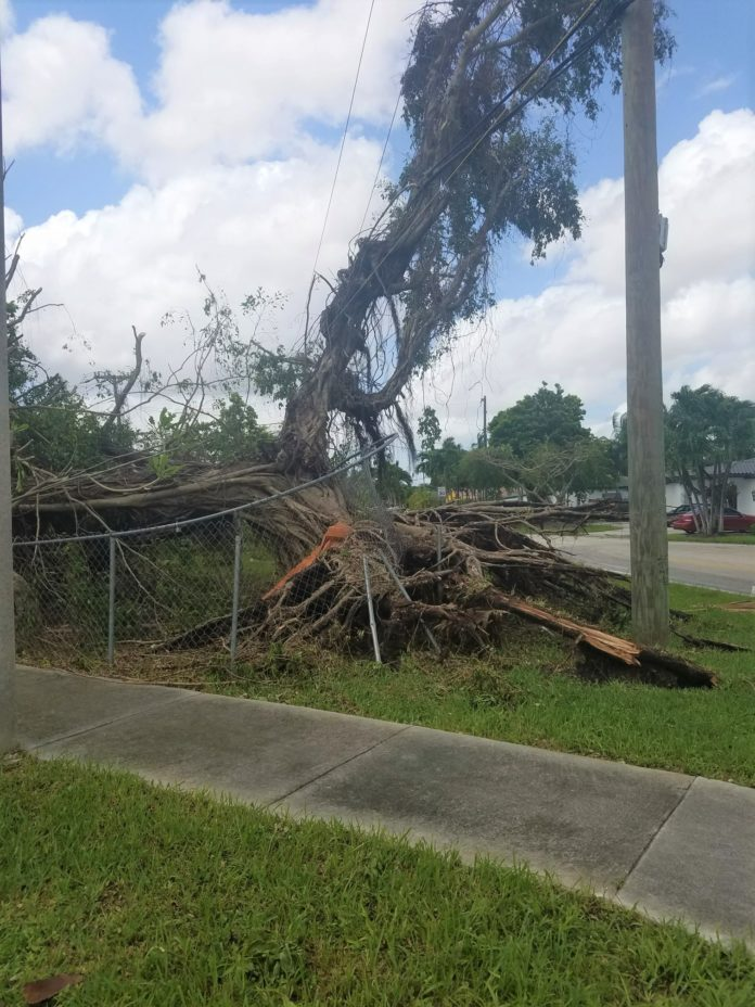 Destroyed tree after Hurricane Irma